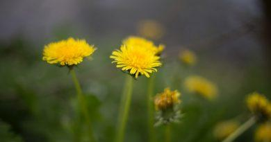 After a dandelion to nature!